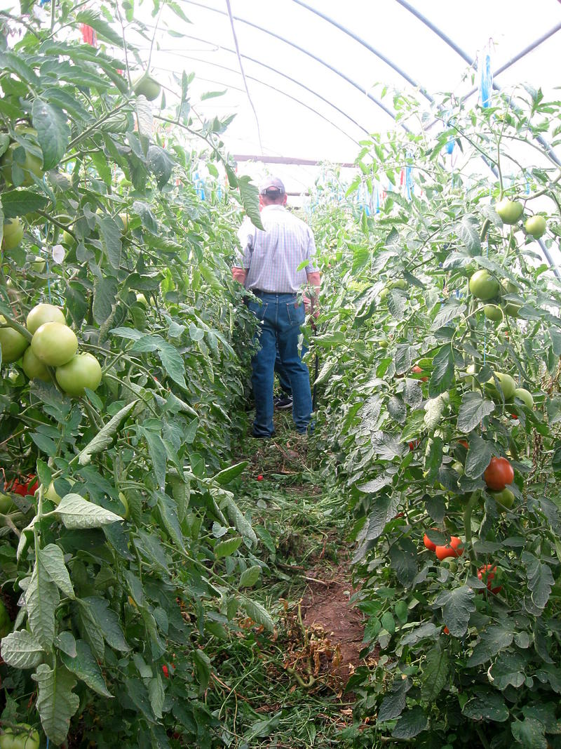 A greenhouse visitor walks between rows of tomatoes.