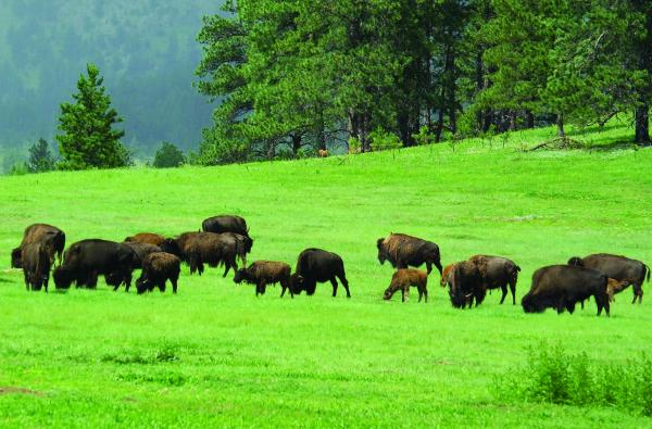 The bison at Wind Cave National Park continue to be a healthy and growing herd.