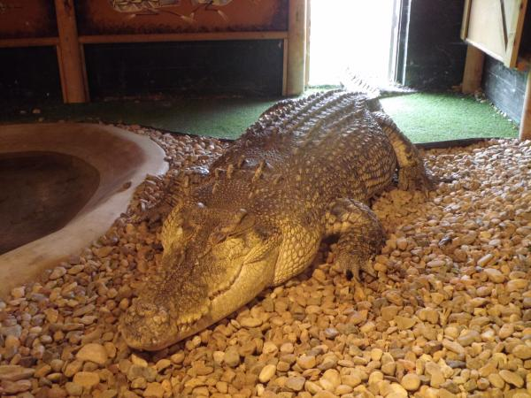 """Maniac"" is a 16-foot Australian saltwater crocodile that even Steve Irwin would be proud of."