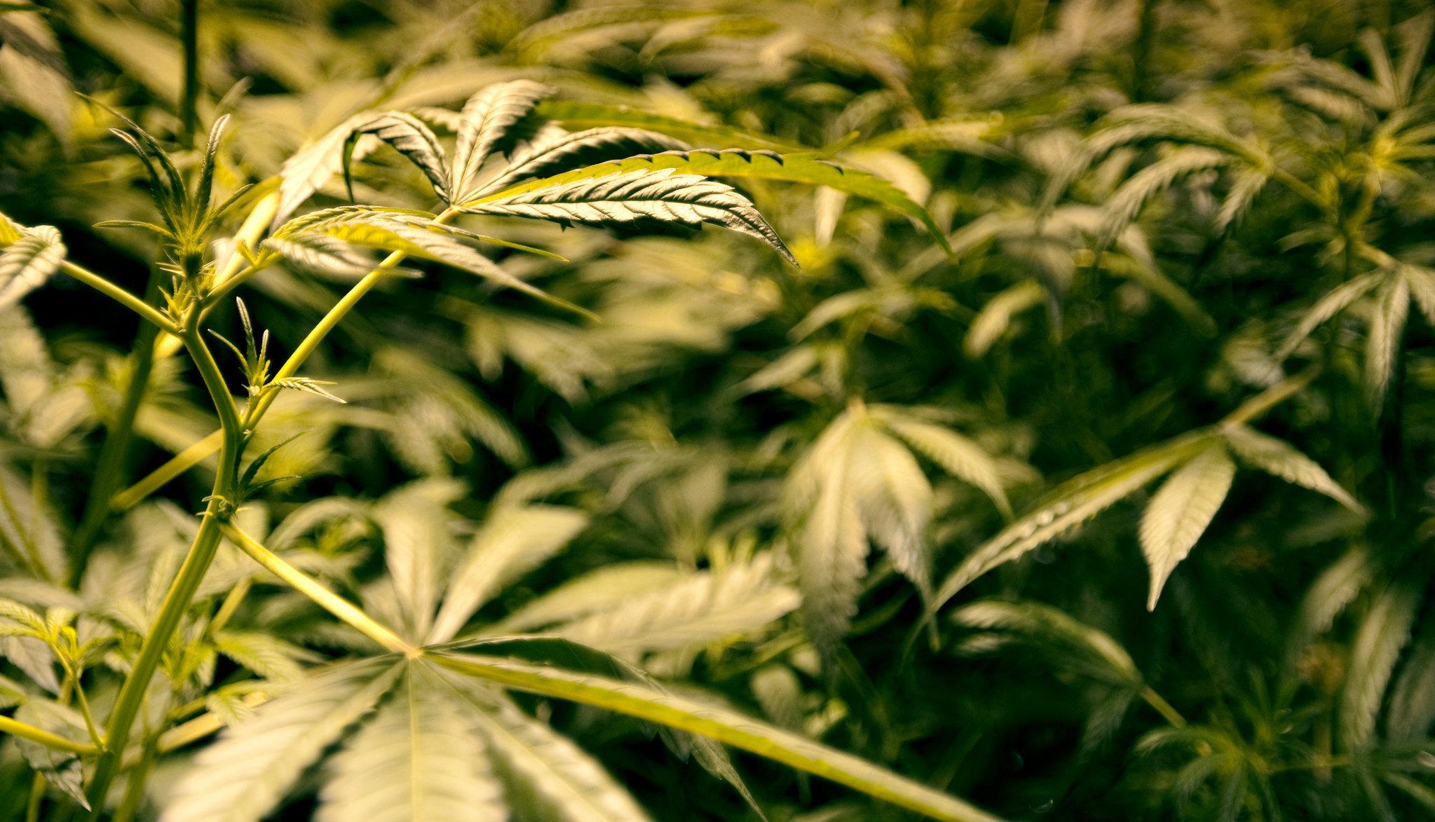 High Cannabidiol Low Thc Cannabis