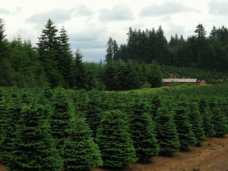 Christmas Trees Jobs