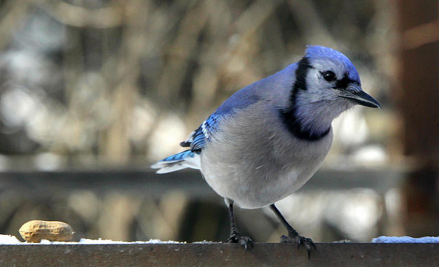 Illinois Receives First Positive Test Of Bird For West Nile Virus | Peoria Public Radio