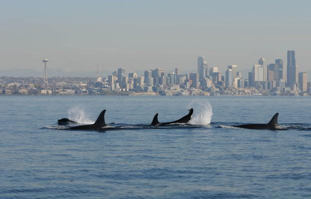 Puget sound in line for environmental health boost kuow news and a file photo of orcas in puget sound with seattle in the background the latest earthfix poll surveyed northwest residents about a variety off environmental sciox Choice Image