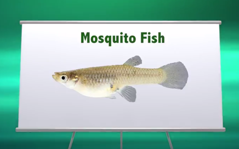39 Mosquito Fish 39 Giveaway Aims To Help Prevent Zika