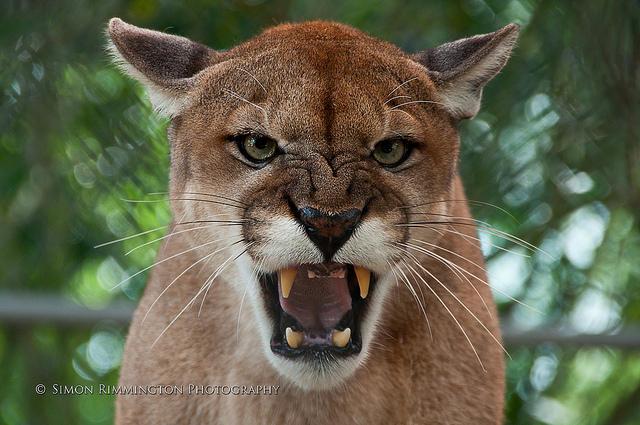 Carolina Panthers Cat Ears