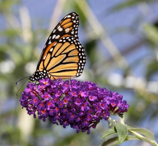 Where Have All Monarchs Gone >> Where Have The West S Monarch Butterflies Gone Klcc