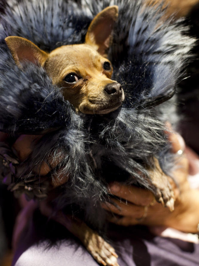 92e5da1ae39 The Westminster Kennel Club dog show is under way