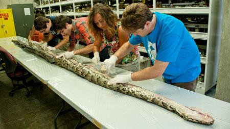 Floridas Biggest Python So Far Measured  Inches Had 87 Eggs Wusf News