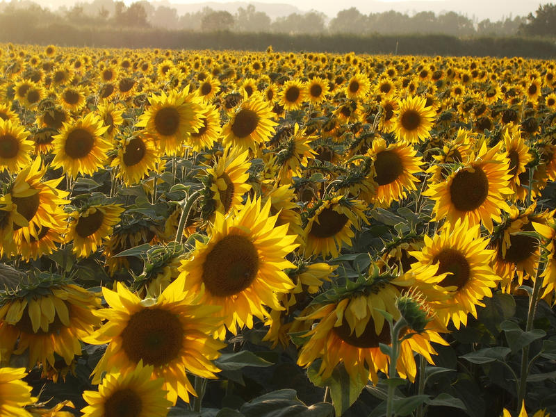 c7025ae3a6 The Mystery Of Why Sunflowers Turn To Follow The Sun — Solved