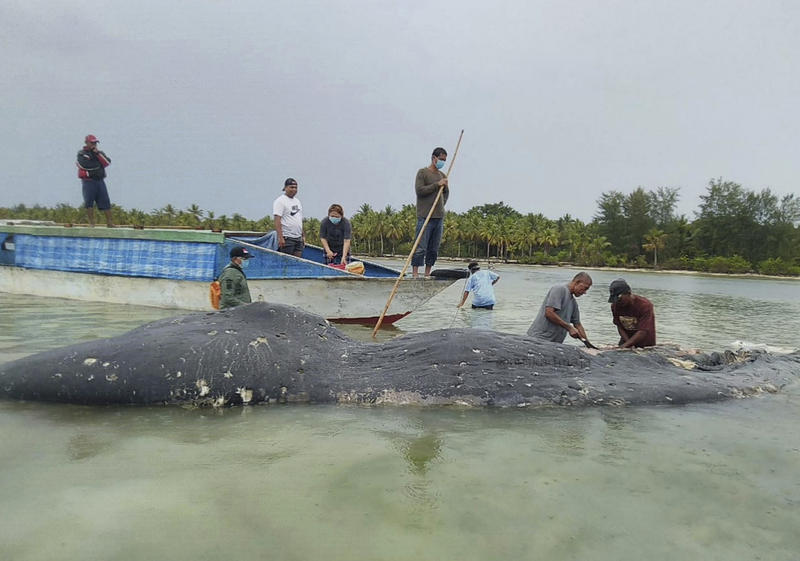 A Dead Sperm Whale Found In Indonesia Had At Least 13 Pounds Of Garbage Its Stomach Including 115 Plastic Cups And Two Sandals According To Team