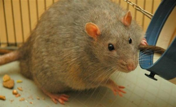The Zucker rat has been bred specifically as a genetic model for obesity in humans.