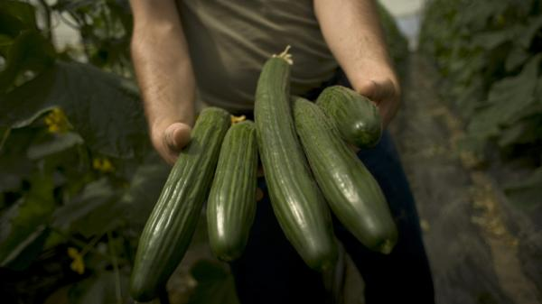 A farmer holds cucumbers in a field in Malaga, Spain. Cucumbers from Spain have been eyed as the source of a disease outbreak in Germany.