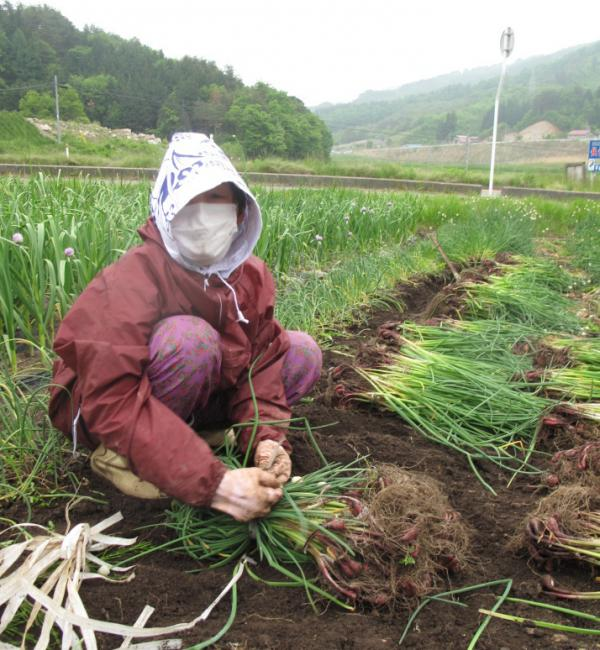 Nisaka Mieko gathers chives, which have been contaminated by  radiation from the Fukushima nuclear reactor accident. She says she may lose $25,000 in crops, and hopes to plant some of the seeds next year.