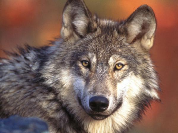 The gray wolf has been a controversial entry on the endangered species  list. Former Interior Secretary Bruce Babbitt is concerned Congress may  kick them off the list altogether.