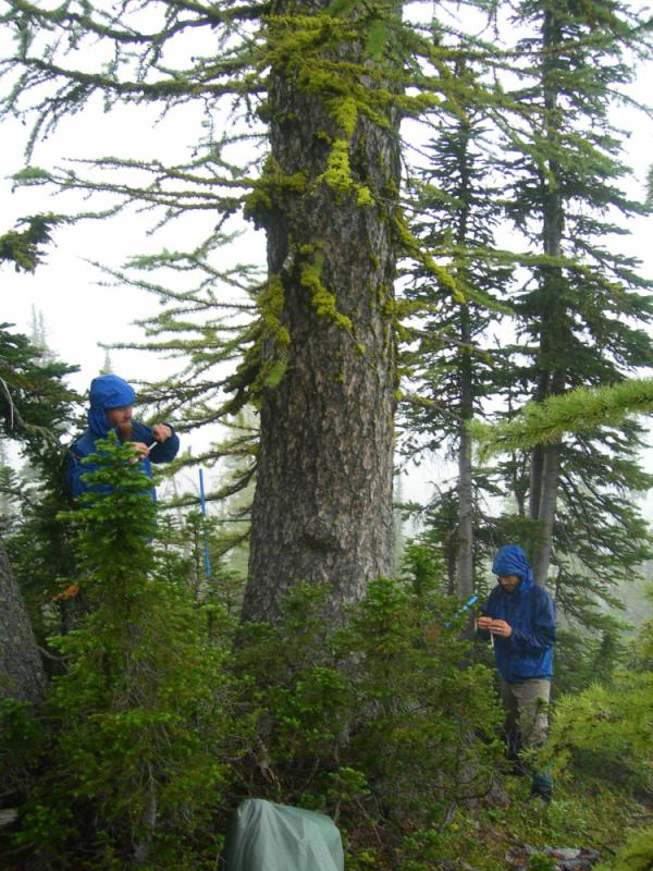 Researchers sample an ancient subalpine larch tree near Boulder Pass in Glacier National Park, Mont.