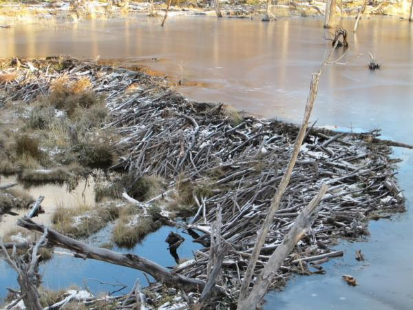 A beaver dam sits on the appropriately named Beaver Creek. Beavers aren't native to the region, but you would never know it — there are dams, beaver lodges and felled trees all over the creek.