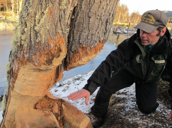 "Pablo Kunzle, a park ranger in Tierra del Fuego National Park on Argentina's southernmost fringe, shows off the trunk of a tree whittled down by beavers. ""Unfortunately,"" Kunzle says, ""they're almost the perfect machine."" Once the tree is toppled, he says, it'll be used to buttress the beaver's dam or lodge."