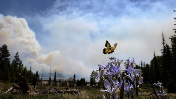 Sunday, this butterfly hovered over some flowers even as smoke from the fire rose above the Lee Valley Recreational area in the Apache National Forest.