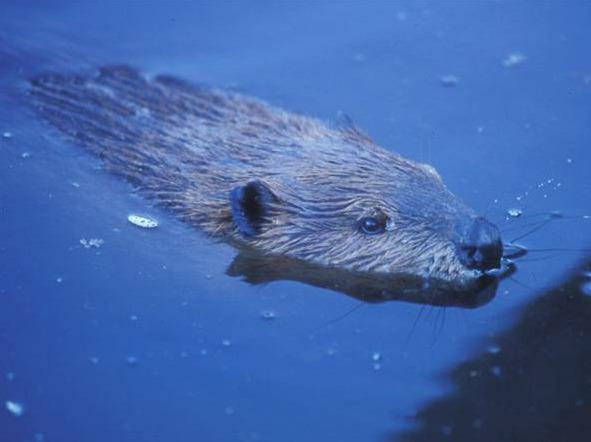 A beaver swims in Tierra del Fuego National Park. The beavers are cutting and flooding forests across the vast, remote Tierra del Fuego archipelago. With no natural predators, they mow down forests unchecked, and their dams create lagoons that suffocate trees and vegetation. Floods over roads and cattle-grazing pastures have caused millions in damages.