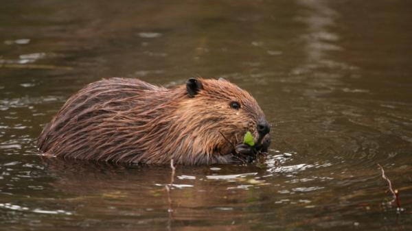A beaver swims in Tierra del Fuego. The beavers are  cutting and flooding forests across the vast, remote archipelago. With no natural predators, they mow down forests unchecked,  and their dams create lagoons that suffocate trees and vegetation. The  beavers also flood over roads and cattle-grazing pastures, causing  millions in damages.