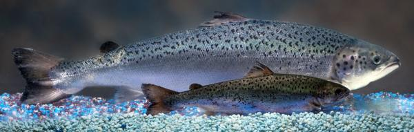 A genetically engineered AquAdvantage salmon looms behind an Atlantic salmon sibling of the same age.