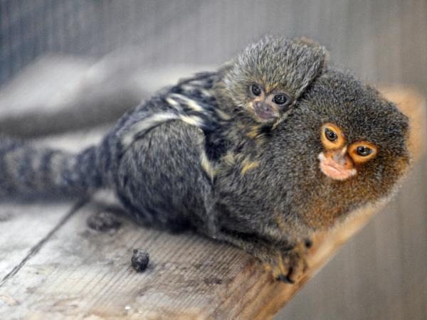 A new born marmoset monkey is carried by his father.
