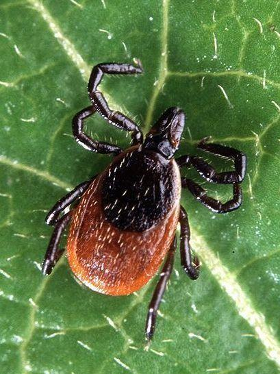 An adult deer tick, <em>Ixodes scapularis, </em>which is the kind that spreads Lyme disease in the Eastern U.S.