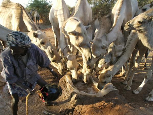 Camels scramble for scarce water resources in Dinsor, March 11, 2006. The current drought that has hit eastern Africa and the horn has put 11 million people across region at the risk of starvation and has started taking toll on camels.