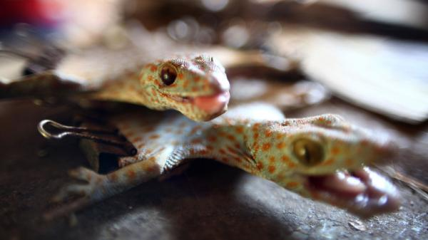 The trade in dried geckos, such as these from Indonesia, is on the rise as demand for their use in medicinal and skin care products grows in Asian countries, including the Philippines.