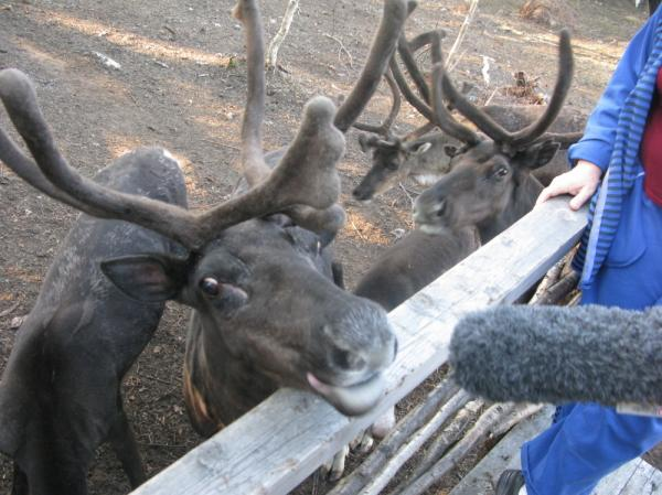 David Greene landed this interview at a reindeer farm near Murmansk, Russia.