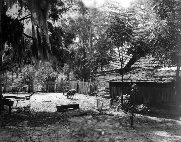 A pig in the yard of the farmhouse used in shooting the MGM film <em>The Yearling</em>.