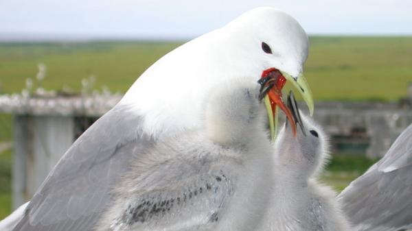 Kittiwake young ingest food regurgitated by their parents.