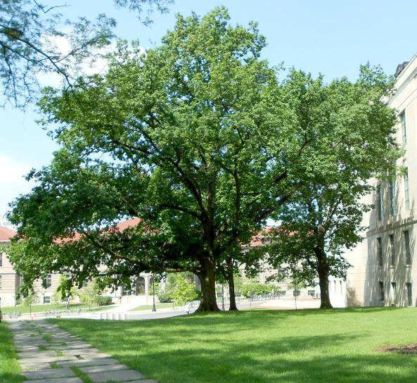 Researchers are trying to determine if an English oak at Ohio State University (top) is one of the trees Jesse Owens brought home from the Berlin Olympics. For years, the lone remaining tree was believed to be at Owens' high school in Cleveland (below).
