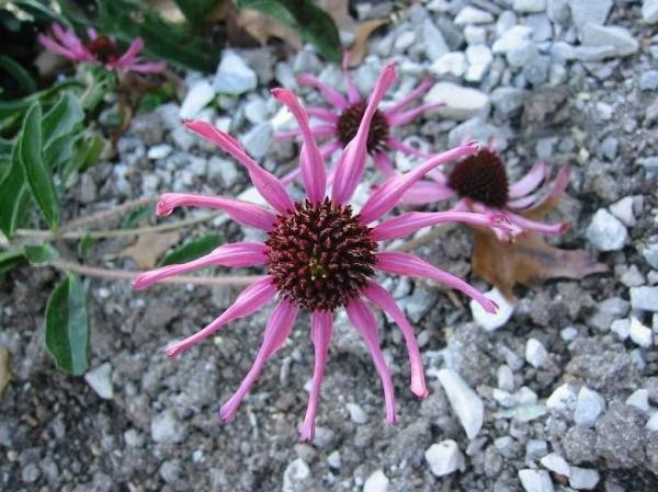 The Tennessee purple coneflower, a wild Echinacea plant, was first discovered in the late 1800s. But it was believed to be extinct before a botanist found a sample in the 1960s.