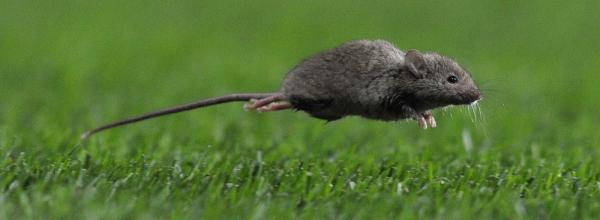 A mouse runs onto the pitch during the English Premier League football match. The hybrid, poison resistant mouse hasn't reached England, so this is one probably has its DNA intact.