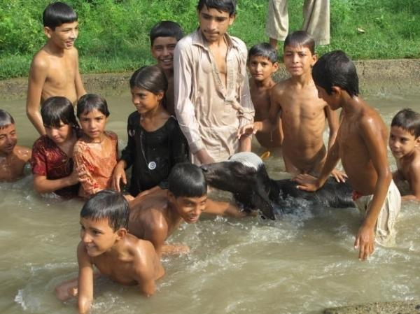 Children swim in the canals in rural Pakistan with  their livestock. According to a new government survey, Pakistan is producing nearly 4 million babies every year and most born into poverty.