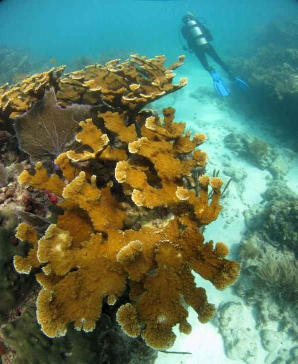 A healthy stand of endangered elk-horn coral is found on Sombrero Reef in the Florida Keys National Marine Sanctuary. In the last 15 years, almost 90 percent of elkhorn populations in the Florida Keys have died, landing this once-common coral on the endangered species list.