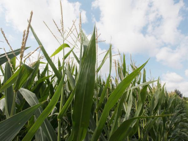 High grain prices and increasing yields have been an economic windfall for farmers. Low stockpiles, the use in ethanol production and orders from China have driven up demand and are expected to keep corn prices high.