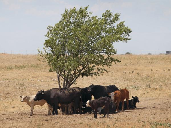 A severe drought has caused shortages of grass, hay and water in most of Texas, forcing ranchers to thin their herds or risk losing their cattle to the drought. Cattle use a tree for shade in late July, as temperatures rose above 100 degrees near Canadian, Texas.
