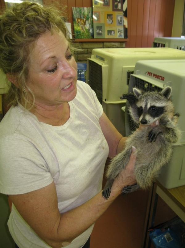 It's not only people suffering from the drought in Texas. Susan Edwards, manager of Wildlife Rescue, holds a juvenile raccoon. The raccoon should at least be double in size, but its mother's milk was lacking needed nutrients.