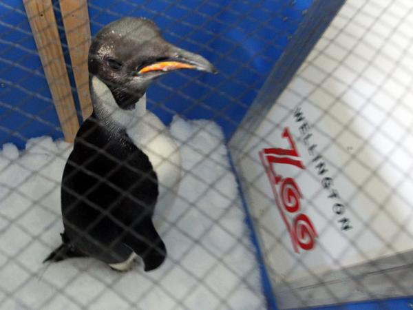 Safe journey, little guy: Happy Feet in his container aboard the research vessel Tangaroa earlier today.