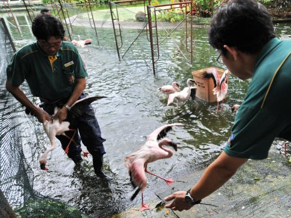 Workers at the Jurong Bird Park in Singapore catch flamingos last year as part of a drive to vaccinate them against avian flu.
