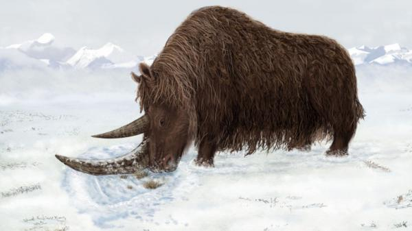 An artist's reconstruction of the Tibetan woolly rhino. Woolly rhinos used their flattened horns to sweep snow off of vegetation, a critical adaptation to survive frigid conditions.