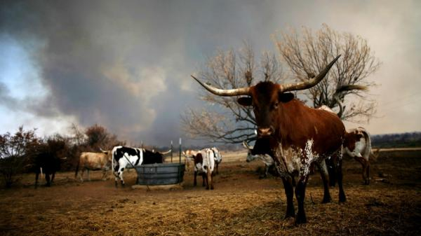 In Graford, Texas, on Thursday: Longhorn cattle stood by as a wildfire burned in the distance.