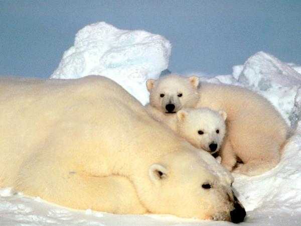A sow polar bear rests with her cubs on pack ice in the Beaufort Sea in northern Alaska, in an undated photo.