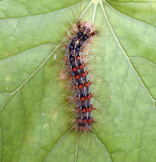 A healthy gypsy moth caterpillar on a leaf. Outbreaks of gypsy moths damage roughly 1 million acres of forest in the U.S. each year.