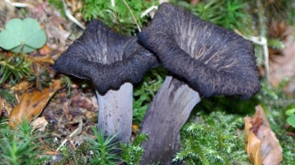 Black trumpet mushrooms are among the 24 varieties of mushrooms that Pat McDonagh of Northampton, Mass., eats. She says that there are more than 1,000 varieties in the woods — and there's been an abundance since Hurricane Irene tore through the Northeast.