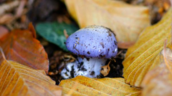 Poisonous mushrooms in the Amanita genus have been sprouting up all over the East Coast thanks to the recent wet weather.
