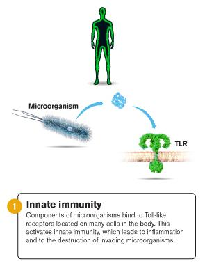 <p>An illustration of innate immunity.</p>