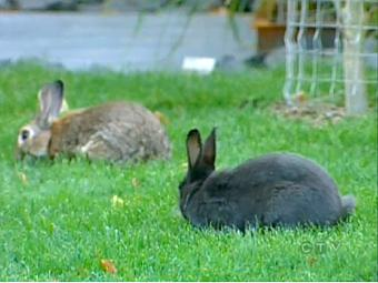<p>Wild rabbits are seen on a lawn in Canmore, Canada. The town is weighing options to cut down the population.</p>